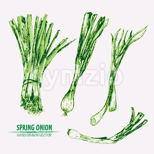 Digital vector detailed line art color spring onion vegetable hand drawn retro illustration collection set. Thin artistic pencil outline. Vintage ink Stock Vector