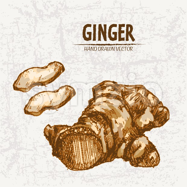Digital color vector detailed line art golden fresh sliced and whole ginger hand drawn retro illustration set. Thin pencil artistic outline. Vintage Stock Vector