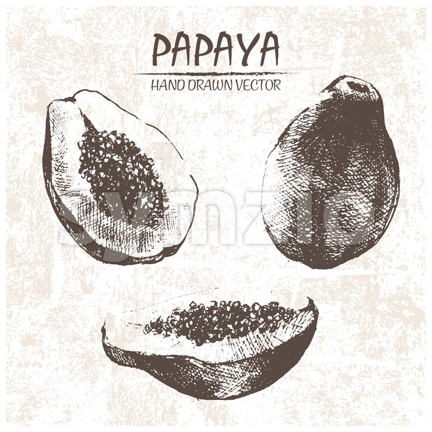 Digital vector detailed papaya hand drawn Stock Vector