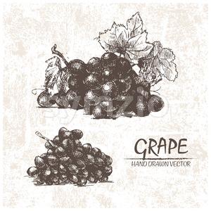 Digital vector detailed grape hand drawn Stock Vector