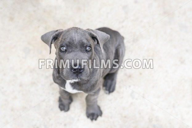 Adorable grey cane corso puppy, close up - frimufilms.com