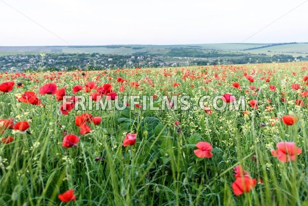 Beautiful landscape with poppy flowers filed at sunset in moldova - frimufilms.com