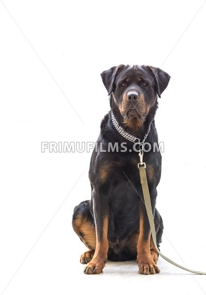 Rottweiler dog on chain isolated on white - frimufilms.com