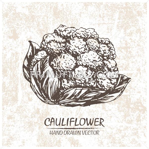 Digital vector cauliflower hand drawn illustration - frimufilms.com