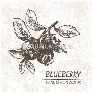 Digital vector detailed blueberry hand drawn - frimufilms.com