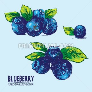 Digital vector detailed color blueberry hand drawn - frimufilms.com