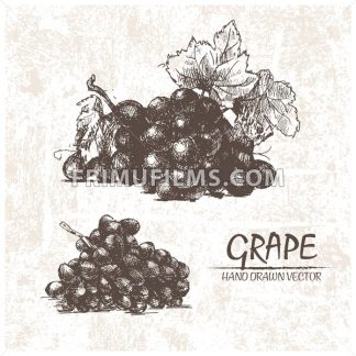 Digital vector detailed grape hand drawn - frimufilms.com