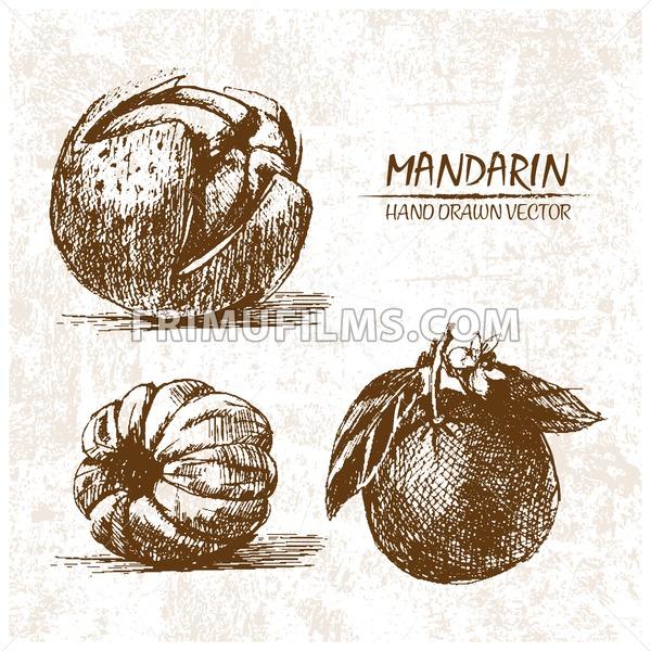Digital vector detailed mandarin hand drawn - frimufilms.com