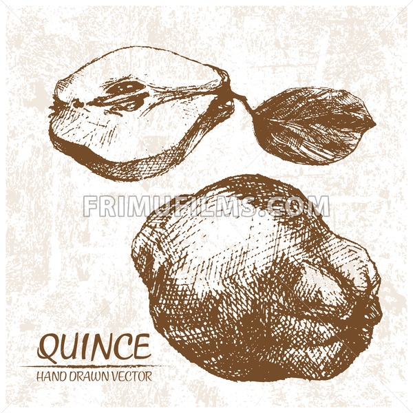 Digital vector detailed quince hand drawn - frimufilms.com