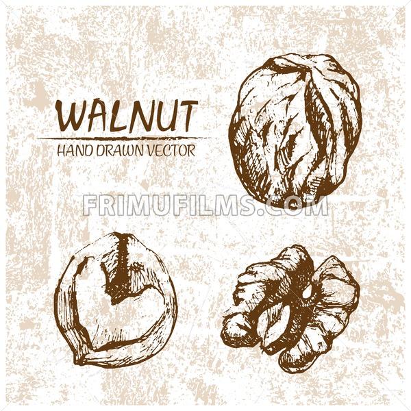 Digital vector walnut hand drawn illustration - frimufilms.com