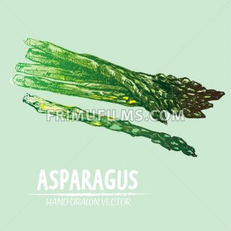Digital vector detailed line art color asparagus vegetable hand drawn retro illustration collection set. Thin artistic pencil outline. Vintage ink flat style, engraved simple doodle sketches. Isolated - frimufilms.com