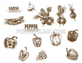 Digital vector detailed line art radish and pepper vegetable hand drawn retro illustration collection set. Thin artistic pencil outline. Vintage ink flat style, engraved simple doodle sketches - frimufilms.com