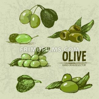 Digital color vector detailed line art fresh green and riped olives on branches hand drawn retro illustration set. Thin pencil artistic outline. Vintage ink flat, engraved doodle sketches. Isolated - frimufilms.com