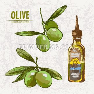 Digital color vector detailed line art fresh green olives on branches and oil bottle hand drawn retro illustration set. Thin pencil outline. Vintage ink flat, engraved doodle sketches. Isolated - frimufilms.com