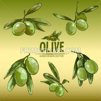 Digital color vector detailed line art fresh green olives on branches hand drawn retro illustration set. Thin pencil artistic outline. Vintage ink flat, engraved doodle sketches. Gradient background - frimufilms.com