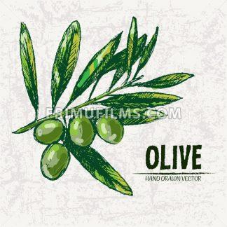 Digital color vector detailed line art fresh green olives on branches hand drawn retro illustration set. Thin pencil artistic outline. Vintage ink flat, engraved doodle sketches. Isolated - frimufilms.com