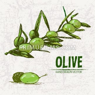Digital color vector detailed line art fresh green olives on branches hand drawn retro illustration set. Thin pencil artistic outline. Vintage ink flat, engraved doodle sketches. Isolated - frimufilms.com