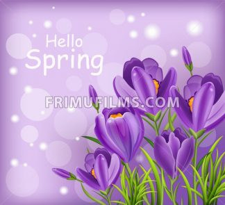 Crocus ultra violet flowers bouquet Vector. Spring background - frimufilms.com