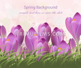 Spring background with purple tulips Vector. Watercolor flowers and green grass. Lovely greeting colorful paint splash illustration - frimufilms.com
