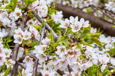 Flowers of the cherry orchard blossoms on a spring day Stock Photo