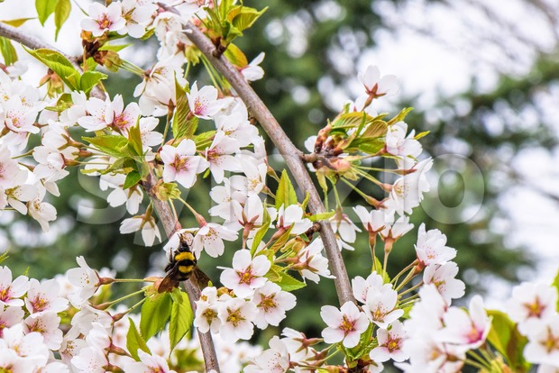 Bumblebee pollinating flowers of the cherry orchard blossoms on a spring day, close up Stock Photo