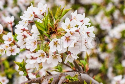 Flowers of the cherry tree orchard blossoms on a spring day Stock Photo