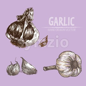 Digital vector color detailed garlic hand drawn retro illustration collection set. Thin artistic linear pencil outline. Vintage ink flat style, Stock Vector