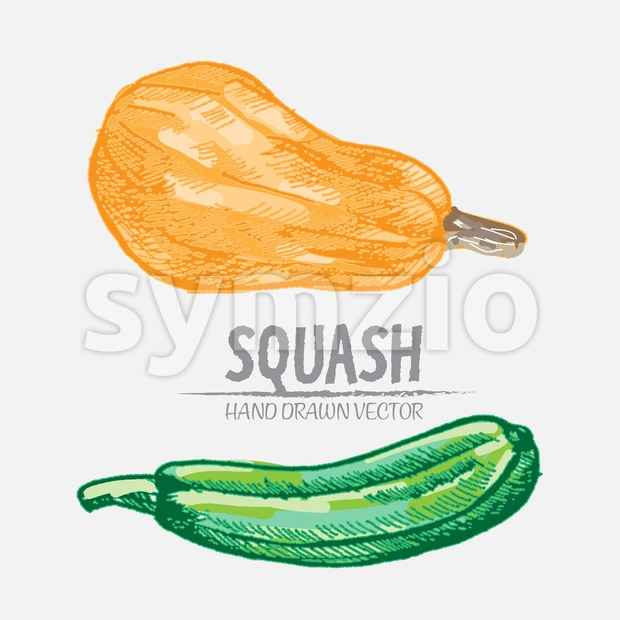 Digital vector color detailed squash hand drawn retro illustration collection set. Thin artistic linear pencil outline. Vintage ink flat style, Stock Vector