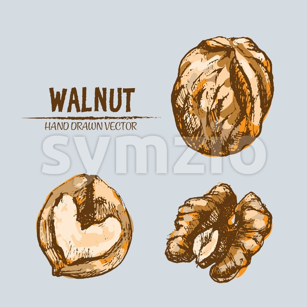 Digital vector detailed walnut hand drawn retro illustration collection set. Thin artistic linear pencil outline. Vintage ink flat style, engraved Stock Vector