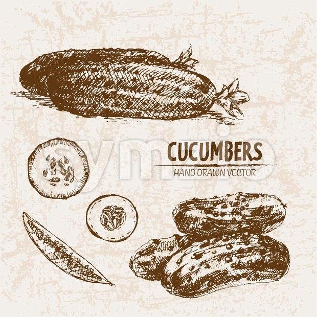 Digital vector detailed line art cucumber vegetable hand drawn retro illustration collection set. Thin artistic pencil outline. Vintage ink flat Stock Vector