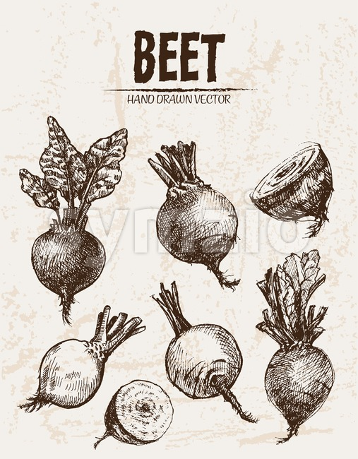 Digital vector detailed line art beet vegetable hand drawn retro illustration collection set. Thin artistic pencil outline. Vintage ink flat style, Stock Vector