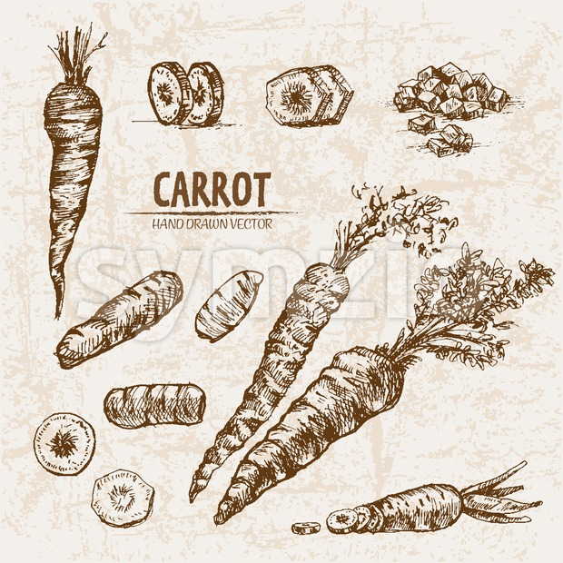 Digital vector detailed line art carrot vegetable hand drawn retro illustration collection set. Thin artistic pencil outline. Vintage ink flat ...