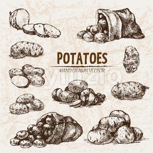 Digital vector detailed line art potato vegetable hand drawn retro illustration collection set. Thin artistic pencil outline. Vintage ink flat, Stock Vector