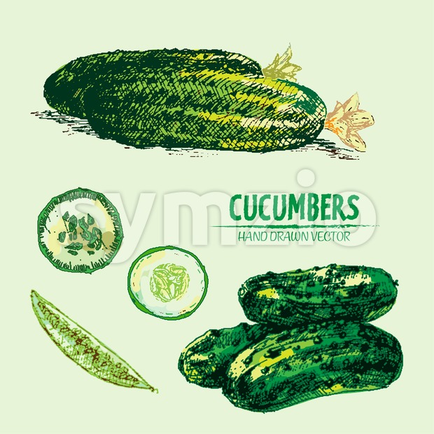 Digital vector detailed line art color cucumber vegetable hand drawn retro illustration collection set. Thin artistic pencil outline. Vintage ink flat Stock Vector