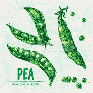 Digital vector detailed line art color pea vegetable hand drawn retro illustration collection set. Thin artistic pencil outline. Vintage ink flat Stock Vector