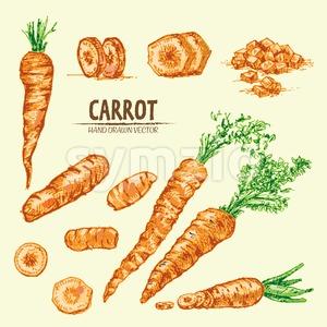 Digital vector detailed line art color carrot vegetable hand drawn retro illustration collection set. Thin artistic pencil outline. Vintage ink flat Stock Vector