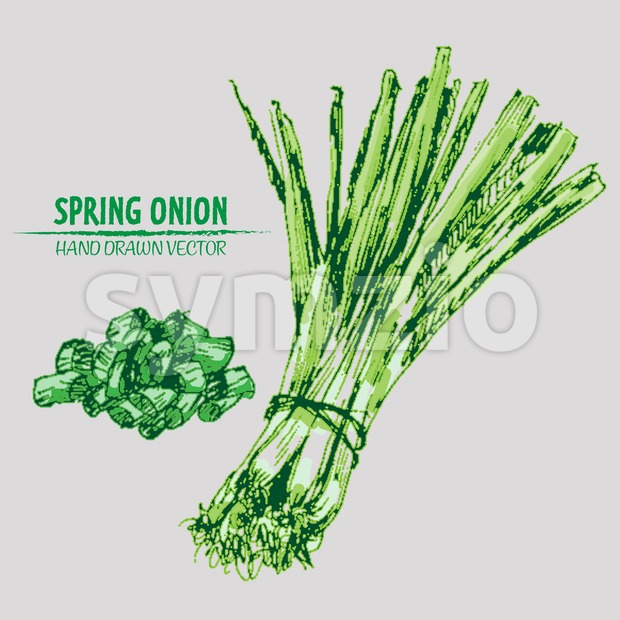 Digital vector detailed line art color spring onion vegetable hand drawn retro illustration collection set. Thin artistic pencil outline. Vintage ink Stock Vector