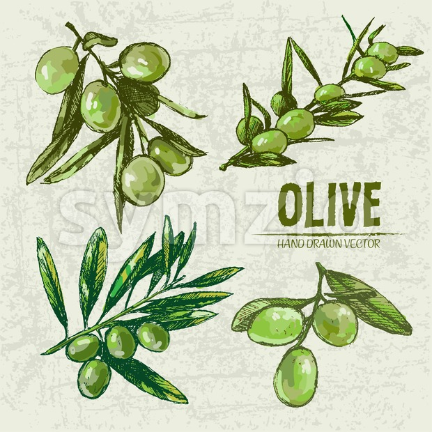 Digital color vector detailed line art fresh green olives on branches hand drawn retro illustration set. Thin pencil artistic outline. ...