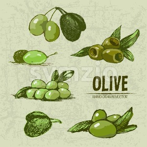 Digital color vector detailed line art fresh green and riped olives on branches hand drawn retro illustration set. Thin pencil artistic outline. Stock Vector