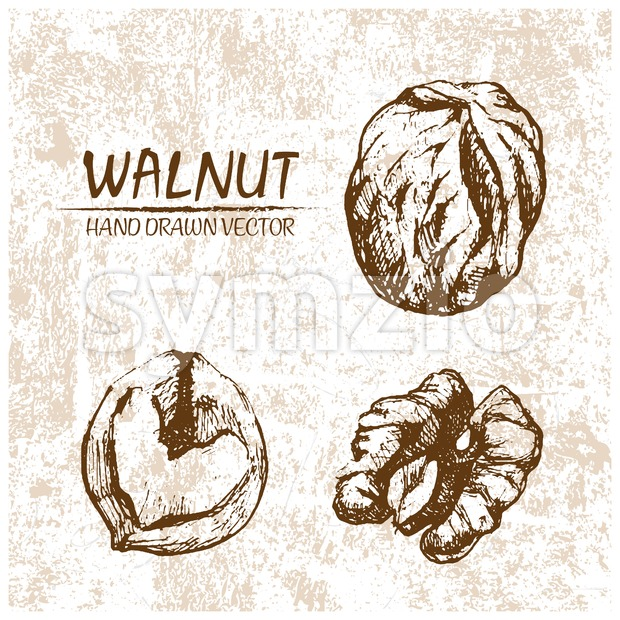 Digital vector walnut hand drawn illustration Stock Vector