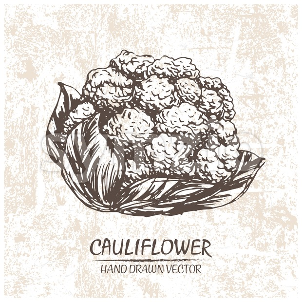 Digital vector cauliflower hand drawn illustration Stock Vector