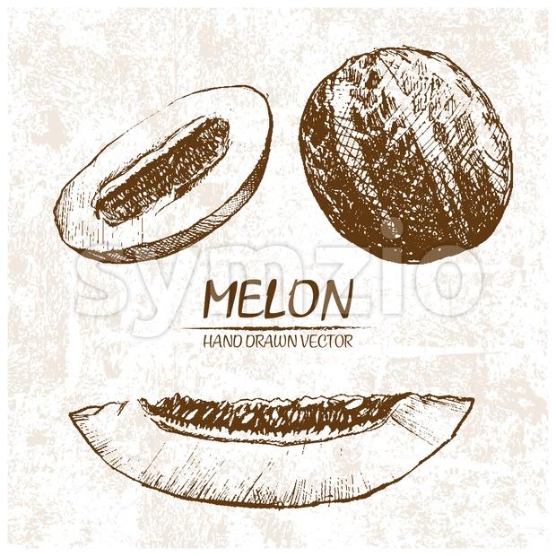 Digital vector detailed melon hand drawn Stock Vector
