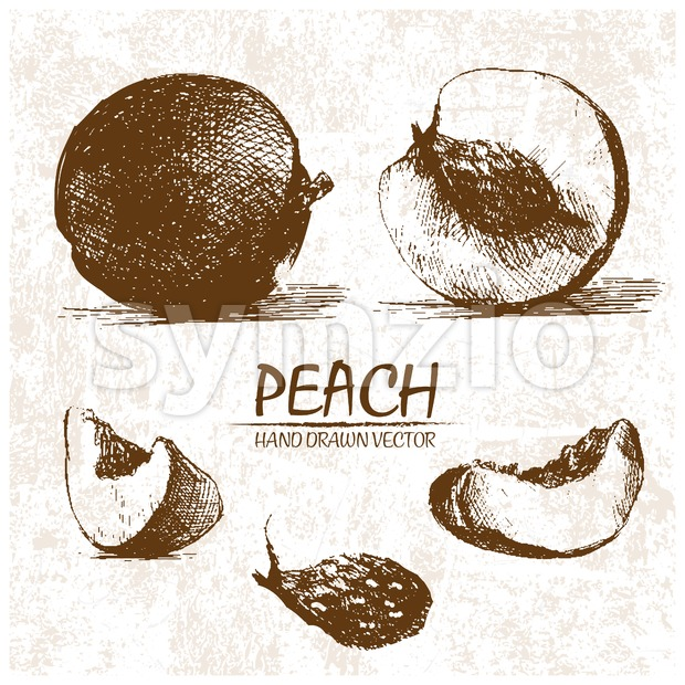 Digital vector detailed peach hand drawn Stock Vector