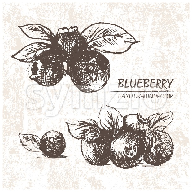 Digital vector detailed blueberry hand drawn retro illustration collection set. Thin artistic linear pencil outline. Vintage ink flat style, engraved ...