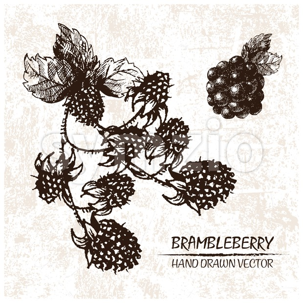 Digital vector detailed brambleberry hand drawn Stock Vector