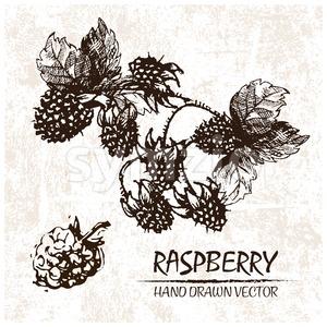 Digital vector detailed raspberry hand drawn Stock Vector