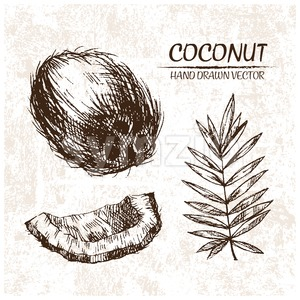 Digital vector detailed coconut hand drawn Stock Vector