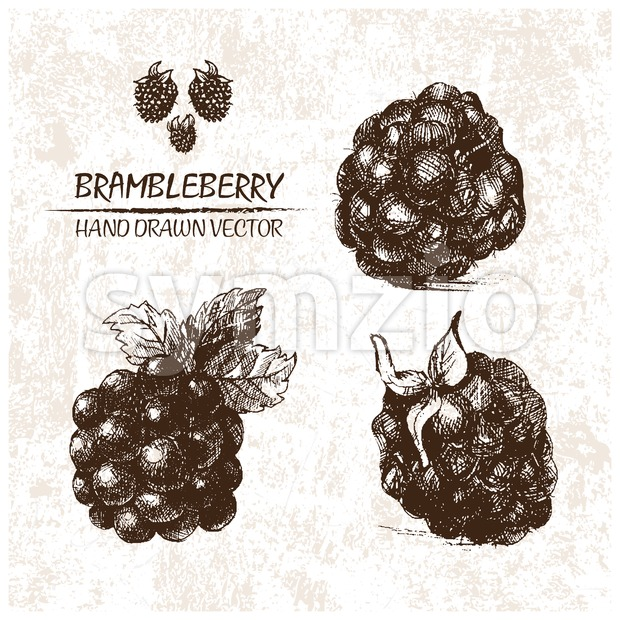 Digital vector detailed brambleberry hand drawn retro illustration collection set. Thin artistic linear pencil outline. Vintage ink flat style, engraved ...