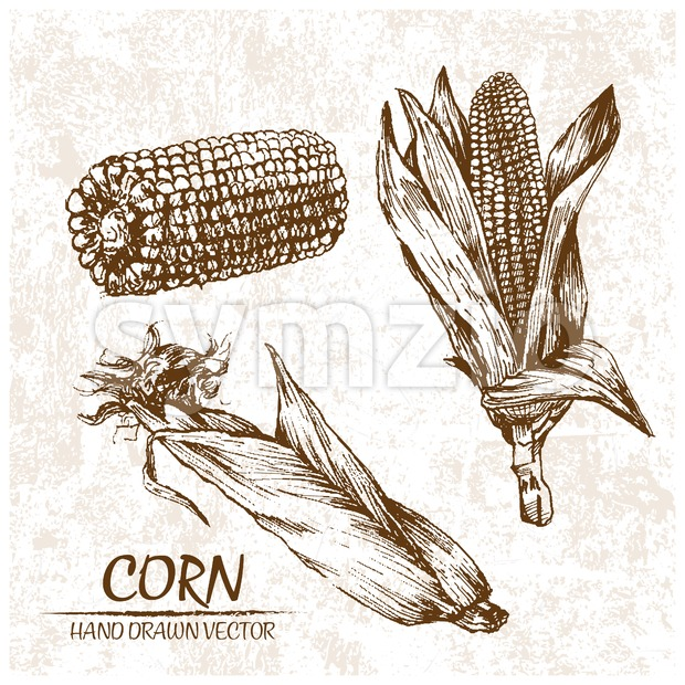 Digital vector detailed corn hand drawn Stock Vector