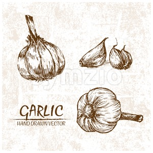 Digital vector detailed garlic hand drawn Stock Vector